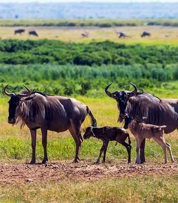 Classic-Safari-2020-Amboseli-gnu