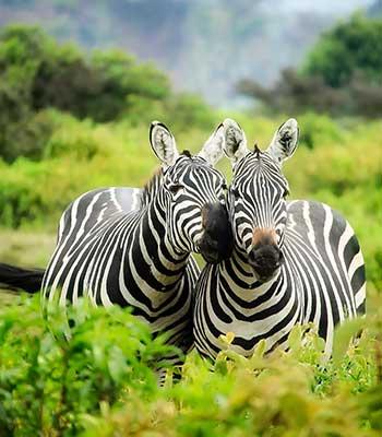 Classic-Safari-2020-zebras-kenya