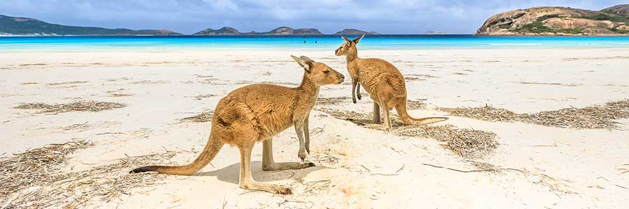 Luxury-Expedition-Kangaroos