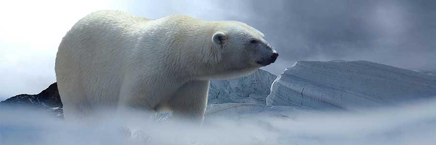 Luxury Expedition - Polar Bear